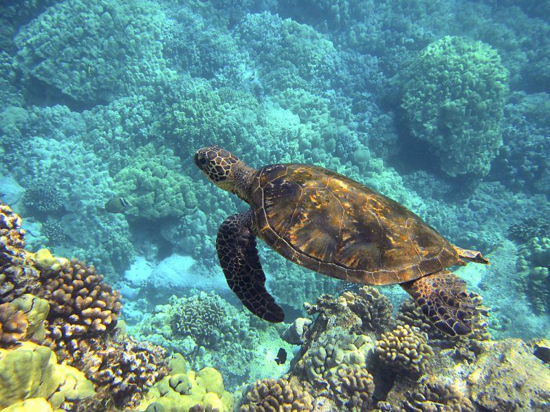 Use reef safe sunscreen in Hawaii to help the sea turtles - Hawaiianly.com