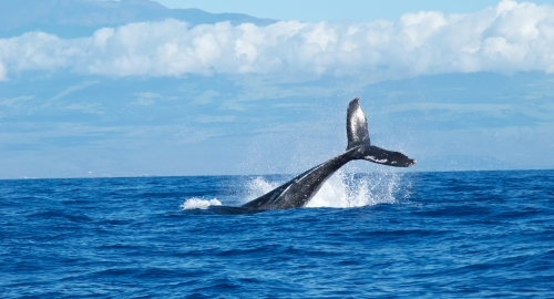 Hawaii Whale Watching [Best Time to See Whales in Hawaii]