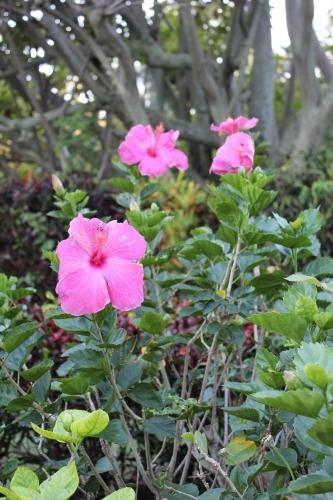 Hibiscus at Smith's Tropical Paradise Garden Kauai - Hawaiianly
