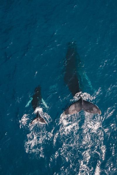 Humpback Whales Migrate to Hawaii - Hawaiianly.com