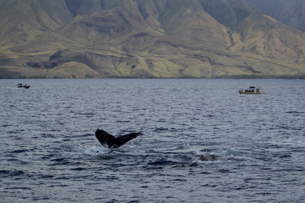 Whale Watching in Hawaii During Winter Months