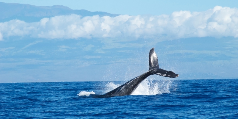 When Can You See Whales in Maui? - Hawaiianly